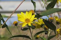 Nebezpečný Topinambur vytěsňuje ze svého okolí ostatní druhy bylin