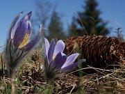 Rozkvetlé koniklece v blízkostí přírodní památky Kozí Horka u Plumlova