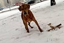 Ustrašený pes ohrožuje dopravu v Plumlovské ulici
