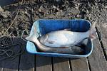 Odlov ryb na plumlovské přehradě - Tolstolobici