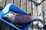 Odlov ryb na plumlovské přehradě - Tolstolobik