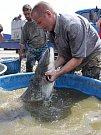 Odlov ryb na plumlovské přehradě - sumec v kádi