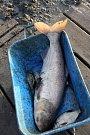 Odlov ryb na plumlovské přehradě - tolsolobik