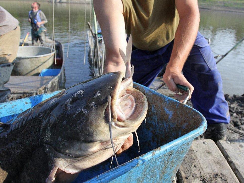 Odlov ryb na plumlovské přehradě - hlava sumce