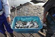 Odlov ryb na plumlovské přehradě - vanička s cejny