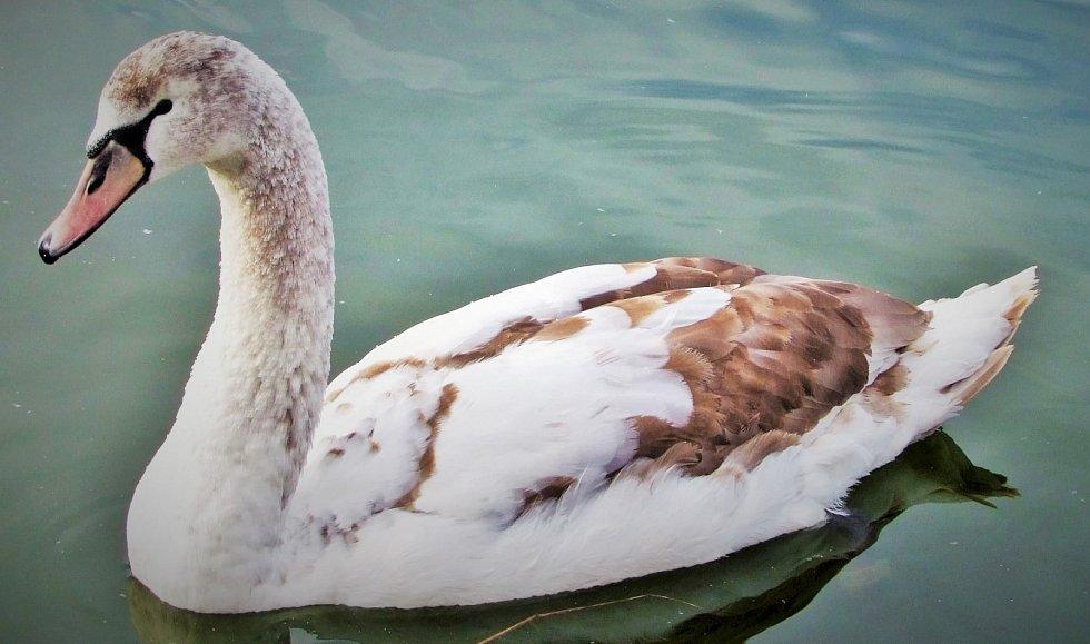 Labutí ladnosti se nic nevyrovná. Na rybníku v Čelčicích