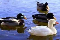 Bílá kachna na hladině drozdovického rybníka v Prostějově