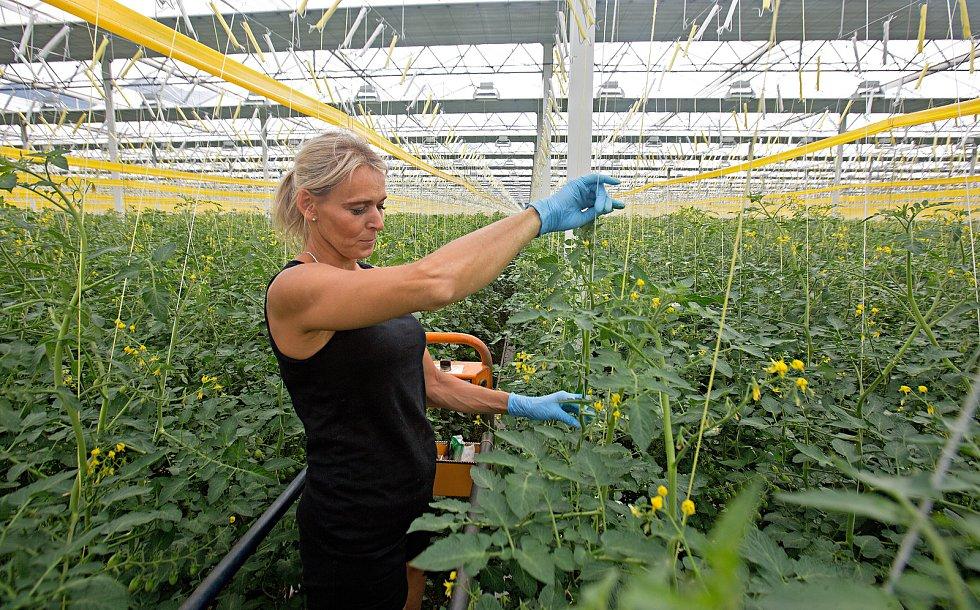 Ve smržickém skleníku rajčat