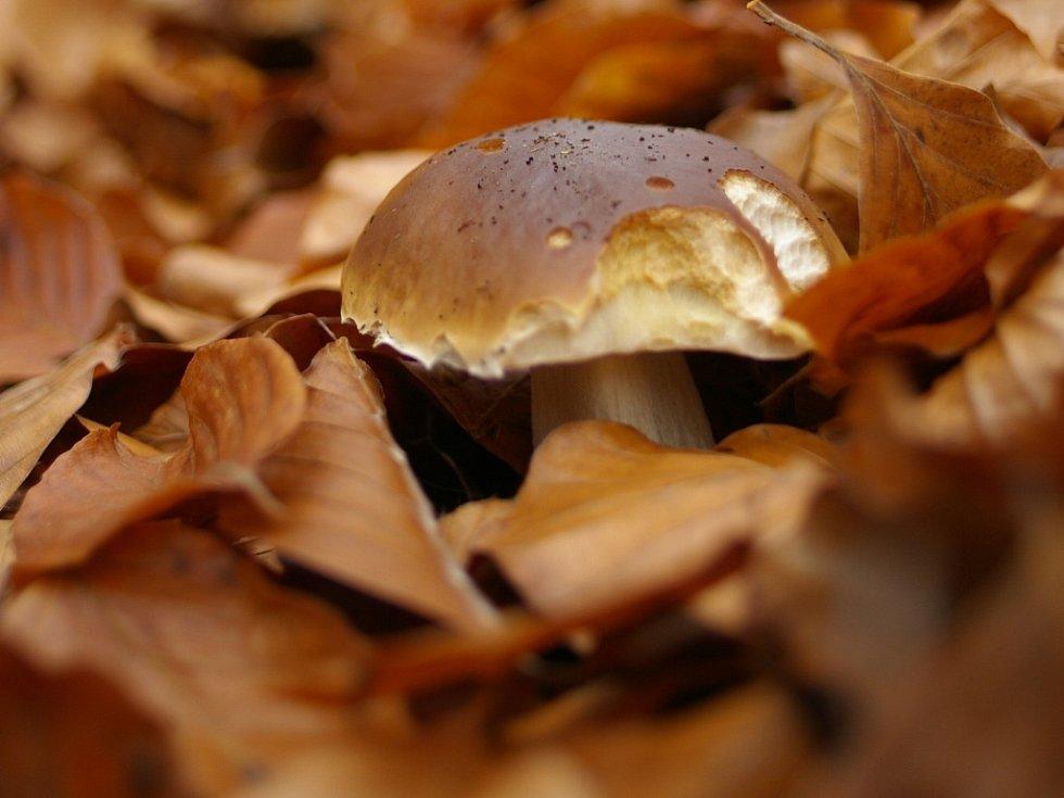 Hřiby v podzimním listí.