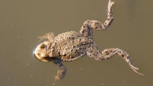 Žáby u rybníků v Hamrech.