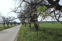 Třešňová alej mezi Ohrozimí a Mostkovice - poškozené stromymi