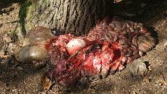 Vnitřnosti z vyvrženého zvířete v lesích v okolí Plumlova