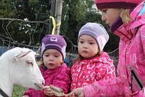 Na kozí farmě Rozinka zaháněli kozy domů.