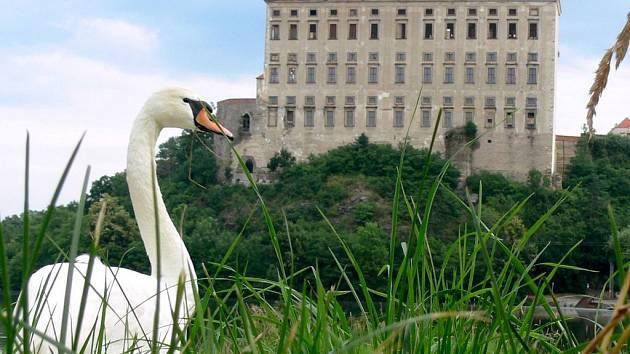 Labuť na Podhradském rybníku v Plumlově.