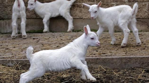 Návštěva na kozí farmě Rozinka v Čelechovicích na Hané
