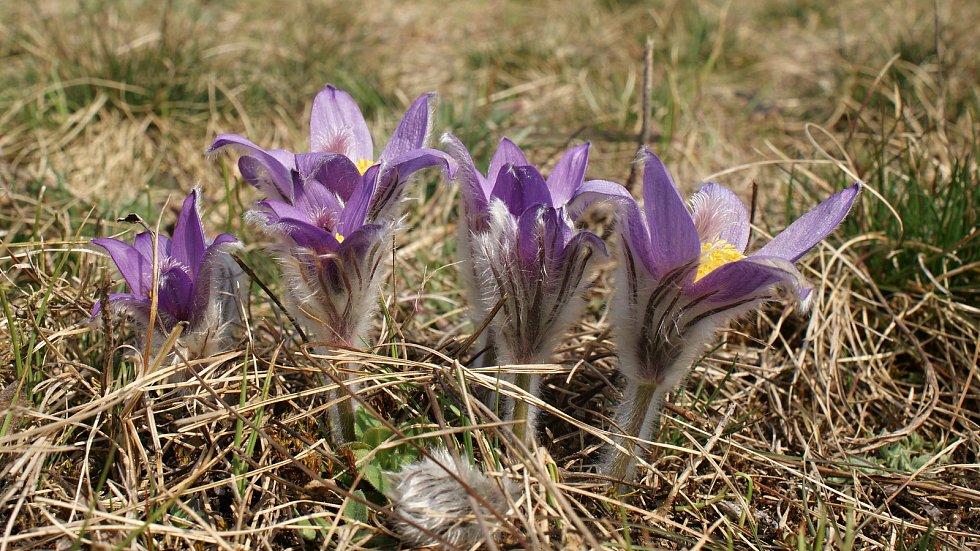 Kvetoucí koniklece v Plumlově na Vinohrádku - 25. 3. 2021