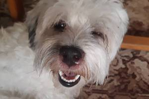 Výtok z očí. Boloňský psík Věry Pinkarové má po setkání s roundapem stále potíže.