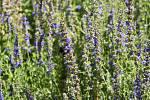 V Botanické zahradě se skrývá spousta zajímavé zeleně. Yzop lékařský. 28.7.2020