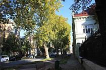 Stoletá alej platanů v Rejskově ulici v Prostějově - 17.10. 2019