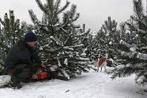 Vánoční stromky na plantáži u Plumlova