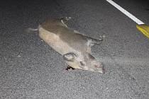Čtvrteční srážku osobního auta s divočákem na D46 u Olšan prase nepřežilo.