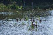 Koupání v Podhradském rybníku v Plumlově