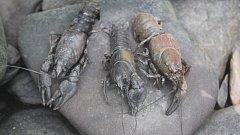 Raci ve vysychajícím korytě Hloučely u Žárovic