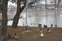 Kachny na drozdovickém rybníku