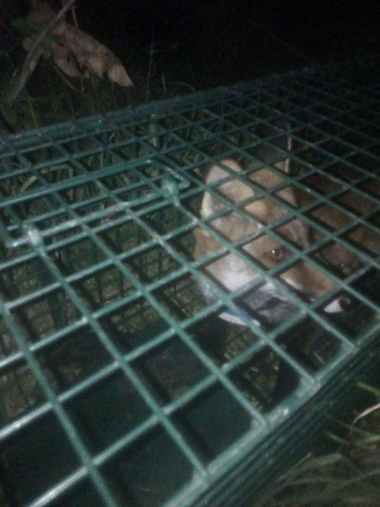 Poloochočená liška Coco se ve čtvrtek v noci nechala vlákat do sklapovací pasti. 9.9. 2021