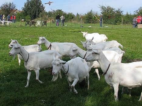 Kozí farma v Čelechovicích