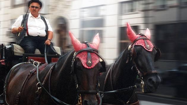 Tihleti vídeňští koně musí mít páru. Nejenže táhnou kočár, ale i na kozlíku jim sedí nějaké to kilo navíc.