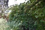 V Botanické zahradě se skrývá spousta zajímavé zeleně. Keř s kiwi. 28.7.2020
