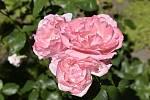 V Botanické zahradě se skrývá spousta zajímavé zeleně. Růže Queen Elizabeth. 28.7.2020