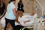 V prostějovské nemocnici zpříjemňuje pacientům canisterapeutický pes Bella. 31.1. 2020