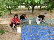 Pracovníci prostějovské palírny při sběru meruněk
