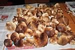 Tito krásní dubáci rostli v minulých dnech na Velkém Kosíři.