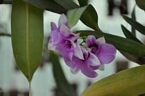Jaroslav Konečný z Prostějova má ve svém skleníku kolem tří set druhů orchidejí