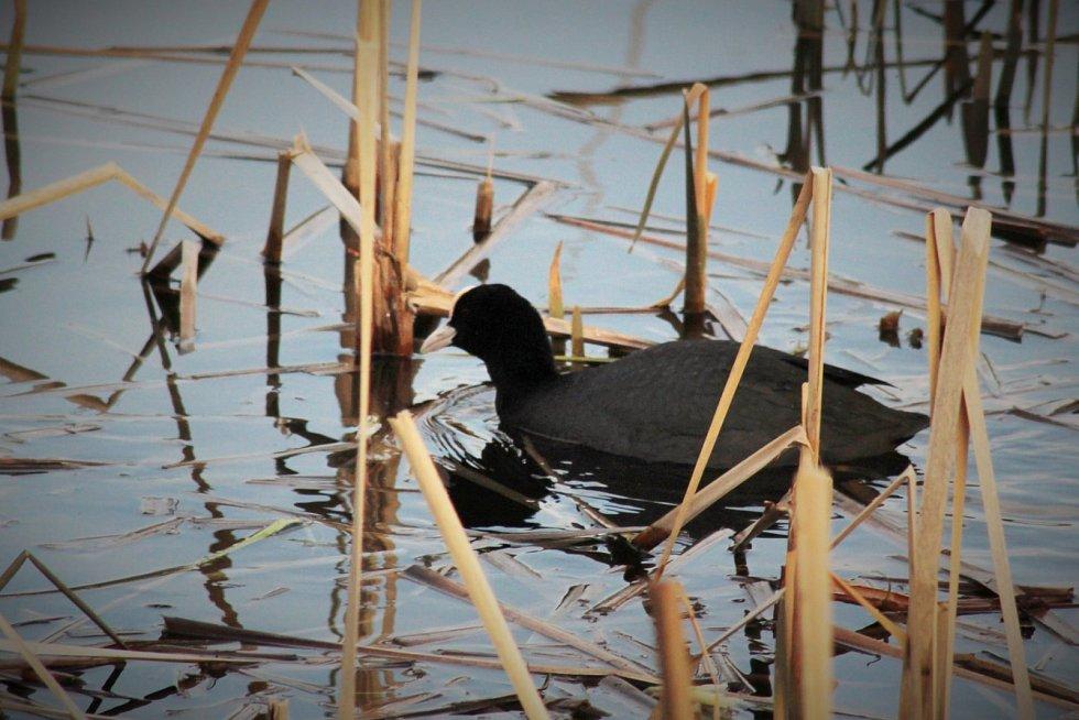 Lyska černá na rybníku Bidelec v Plumlově