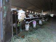 Krávy z Myslejovic dodávají mléko pro mlékárnu v Otinovsi