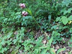 lilie zlatohlávek