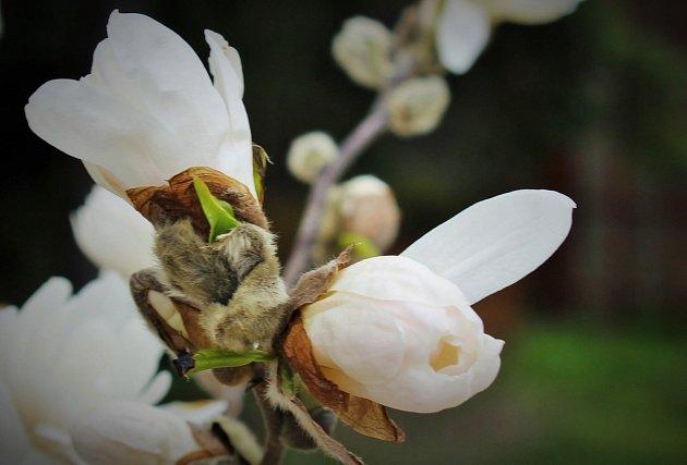 Jaro vprostějovské botanické zahradě