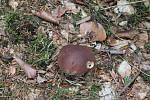 V lesích na Prostějovsku se v těchto dnech dá najít velké množství hub.