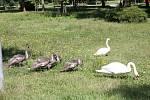 U městského rybníka v Prostějově žije desetičlenná rodinka labutí, která má i vlastní dopravní značku.