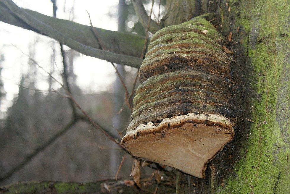 Vánoční houbaření u Nývltů - troudnatec kopytovitý