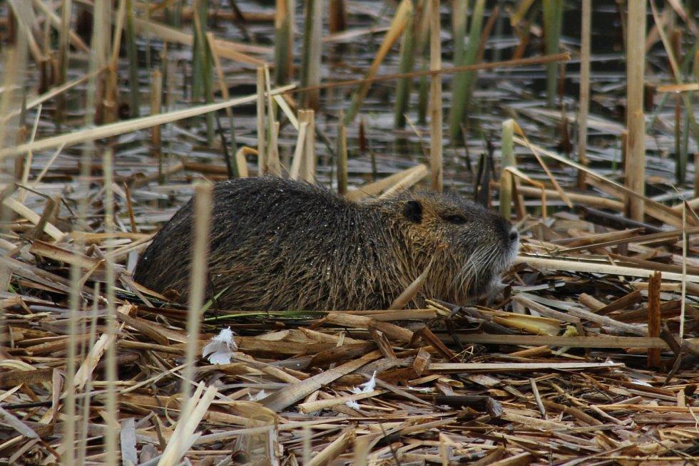 Nutrie na rybníku Bidelec v Plumlově