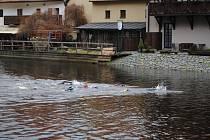 Krumlovští vodní záchranáři si vychutnali tradiční předvánoční plavání ve Vltavě.