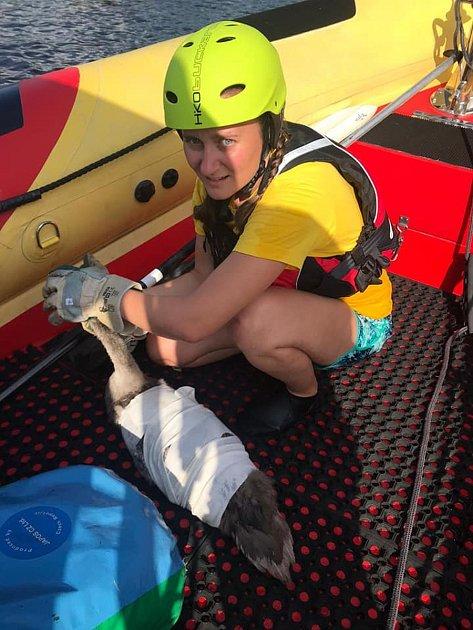 Labutí mládě sháčkem vkrku předali košetření veterinářům vodní záchranáři na základně vDolní Vltavici.