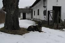 Fena německého ovčáka Axa má za sebou prvního chyceného zloděje, který  vlezl do tohoto domu.