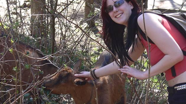 V areálu zříceniny se pohybují i kozy, které vypásají hůře přístupná místa.
