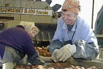 Před revolucí se brambory sklízeli celý podzim, až do zámrazu. Občas posádky kombajnů našly řádky i zapadané sněhem. Vpravo Marie Beranová.